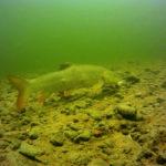 Fisch Barbe in der Traun
